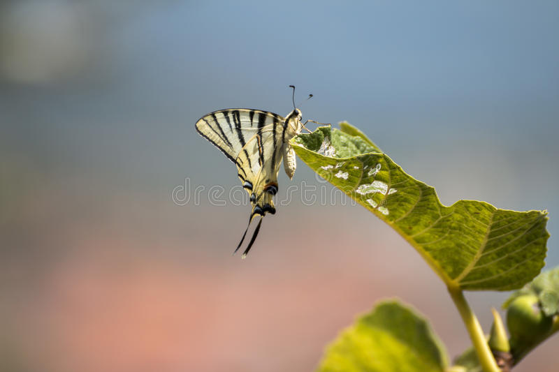Scarce swallowtail butterfly royalty free stock photo