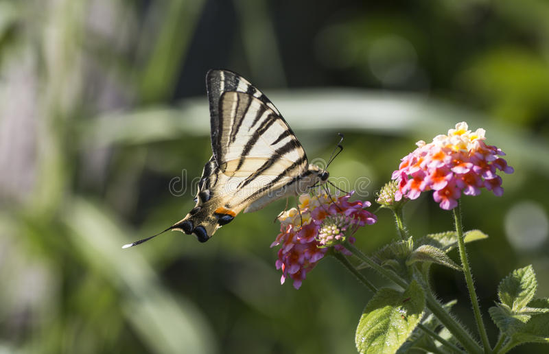 Scarce swallowtail butterfly royalty free stock photography