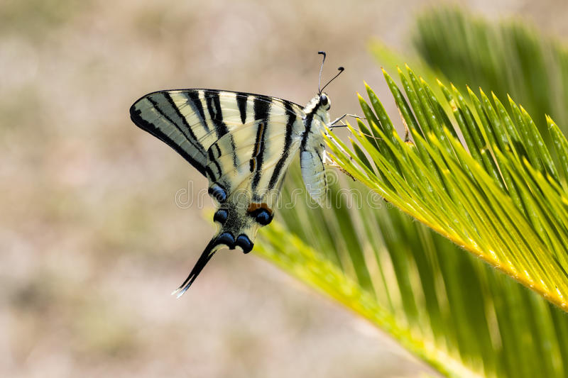 Scarce swallowtail butterfly stock photography