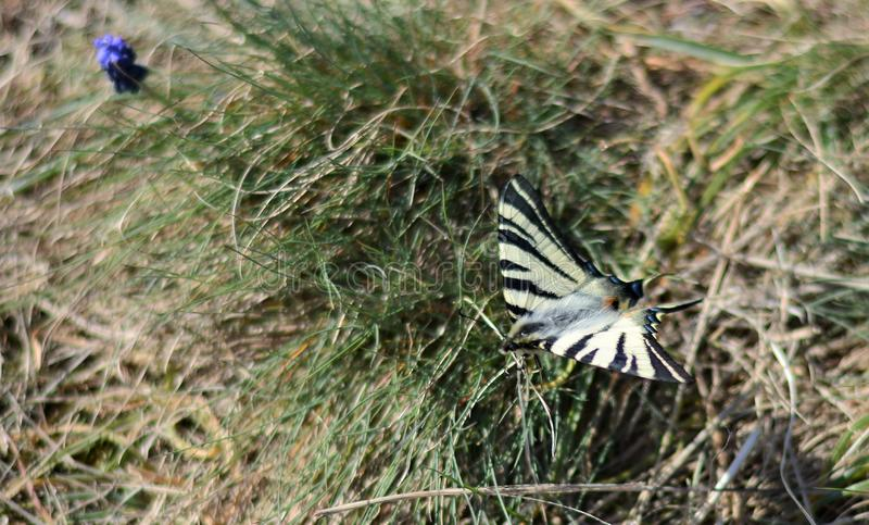 The Scarce Swallowtail Iphiclides podalirius butterfly royalty free stock images