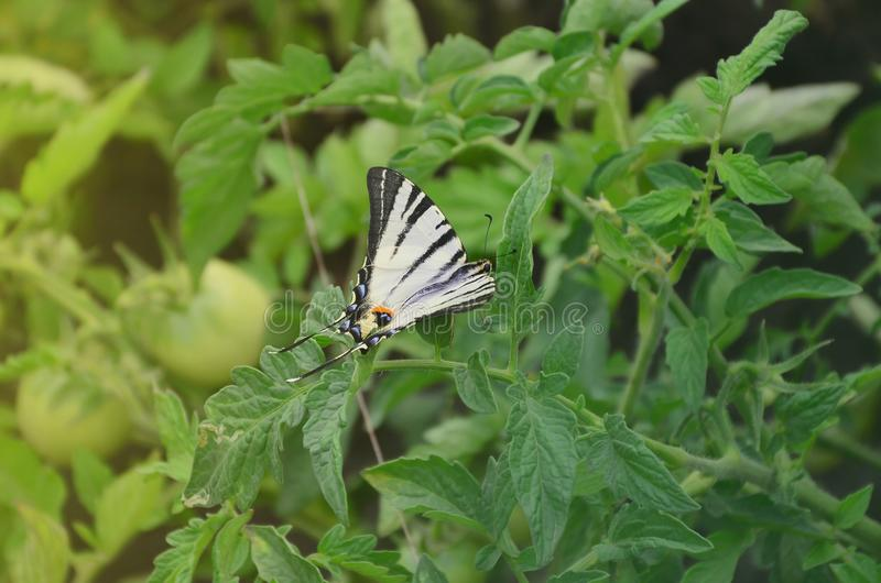Scarce swallowtail Iphiclides podalirius rare european butterfly is sitting on the bushes of a blooming tomat stock photos