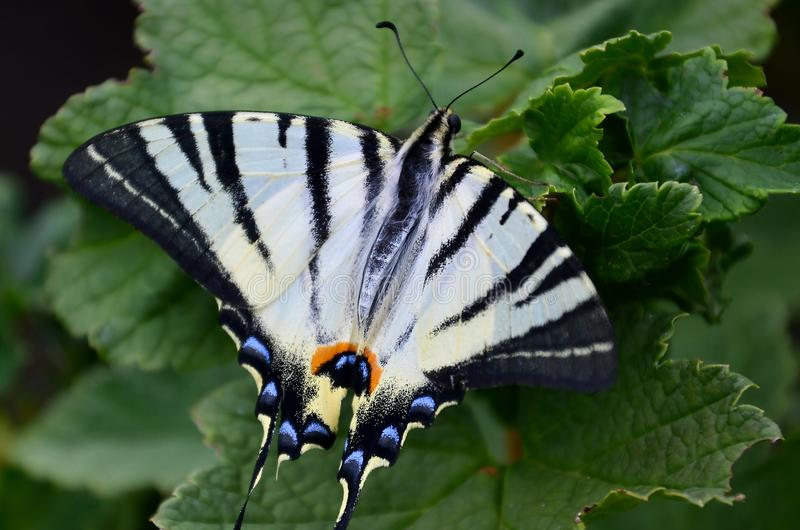 Scarce swallowtail Iphiclides podalirius rare european butterfly is sitting on the bushes of blossoming raspberrie royalty free stock photography