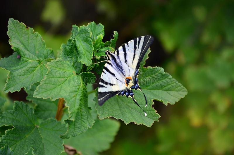 Scarce swallowtail Iphiclides podalirius rare european butterfly is sitting on the bushes of blossoming raspberrie stock photo