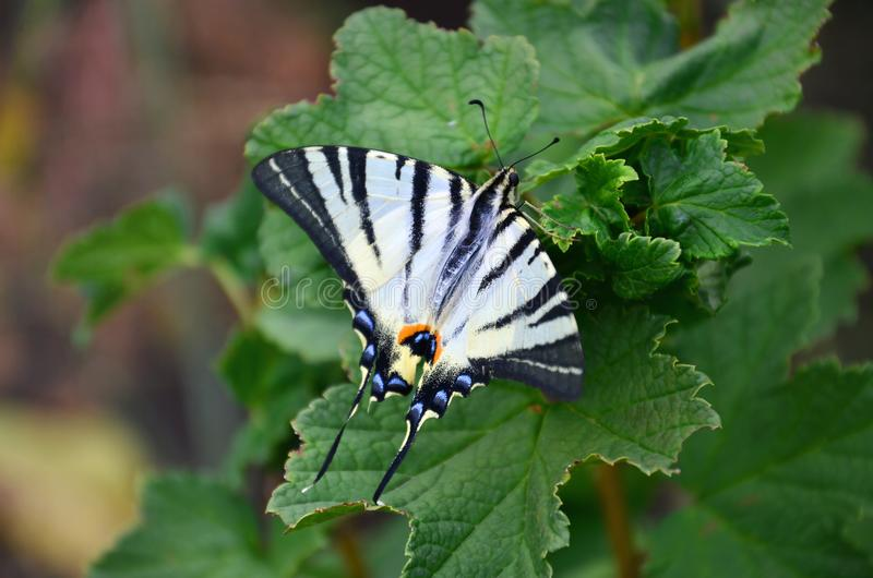 Scarce swallowtail Iphiclides podalirius rare european butterfly is sitting on the bushes of blossoming raspberrie stock photos