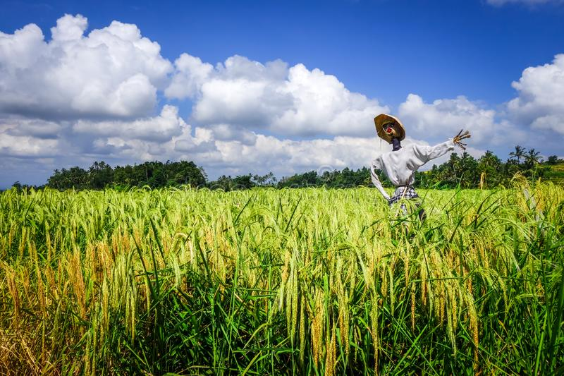 Scarecrow in Jatiluwih paddy field rice terraces, Bali, Indonesia royalty free stock photography