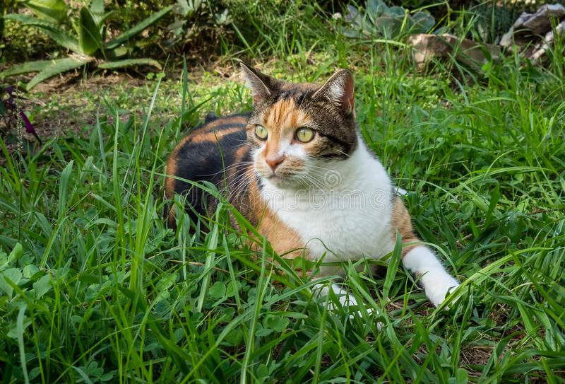 Scared wide-eyed calico cat lying down in long grass of garden royalty free stock photos