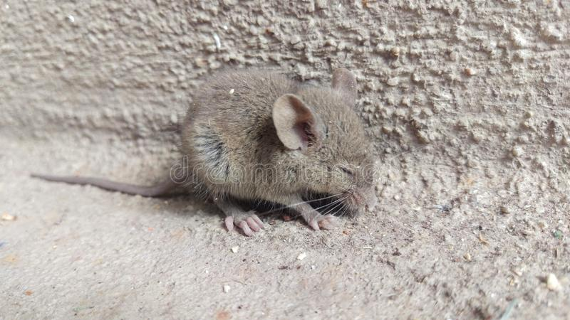 Cute as a Mouse. A detailed closeup of a baby mouse in a corner. animal cement furry fuzzy macro mammal mammalia nature scared soft cute royalty free stock photography