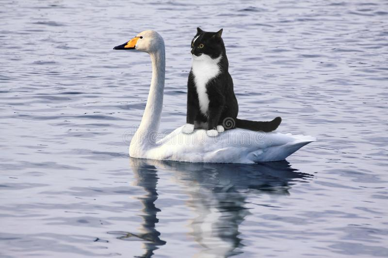 Scared black cat floats on a white swan. Two friends a black cat and a white swan float on lake