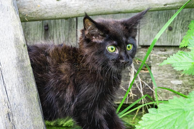 Scared black kitten Maine Coon breed in the yard. Little cat.  royalty free stock image