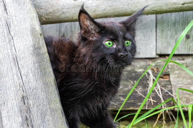 Scared black kitten in the yard saw the danger.  stock images