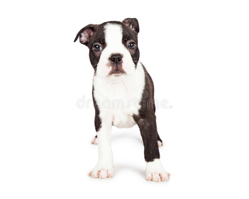 Scared Boston Terrier Puppy Standing. Cute little seven week old Boston Terrier puppy with a shy and scared expression. Isolated on white stock photo