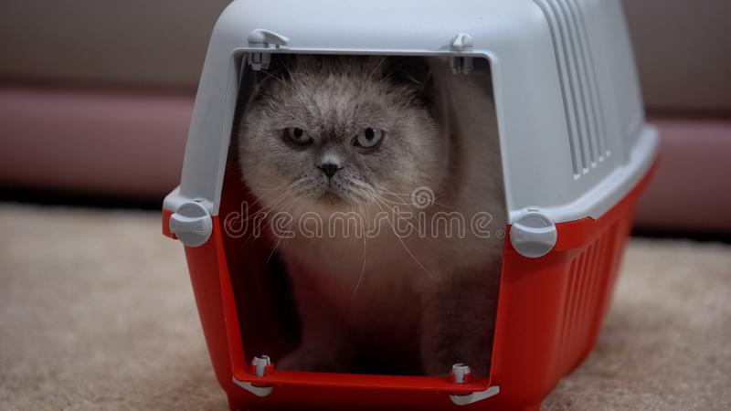 Scared cat sitting in carrier, afraid of new owners and apartment, adoption. Stock photo stock photography