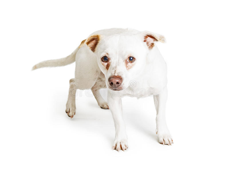 Scared Cowering Rescue Dog. Small breed rescued dog with scared and timid expression and red tear stains under eyes stock photo