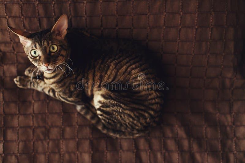 Scared a dépouillé des mensonges de chat sur un tapis brun photo stock