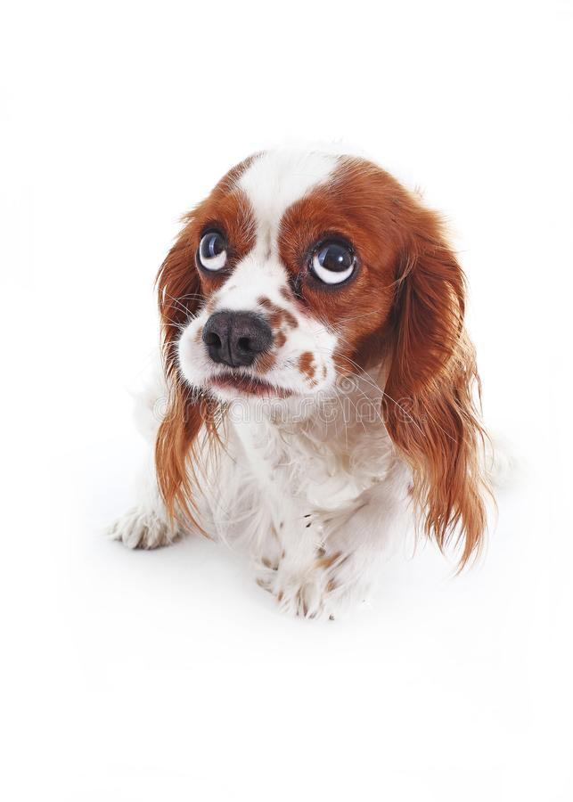 Scared dog. Cavalier king charles spaniel puppy studio photo. Scared or guilty face. King charles spaniel photography. Animal pet trained dog photos. Shy royalty free stock photo