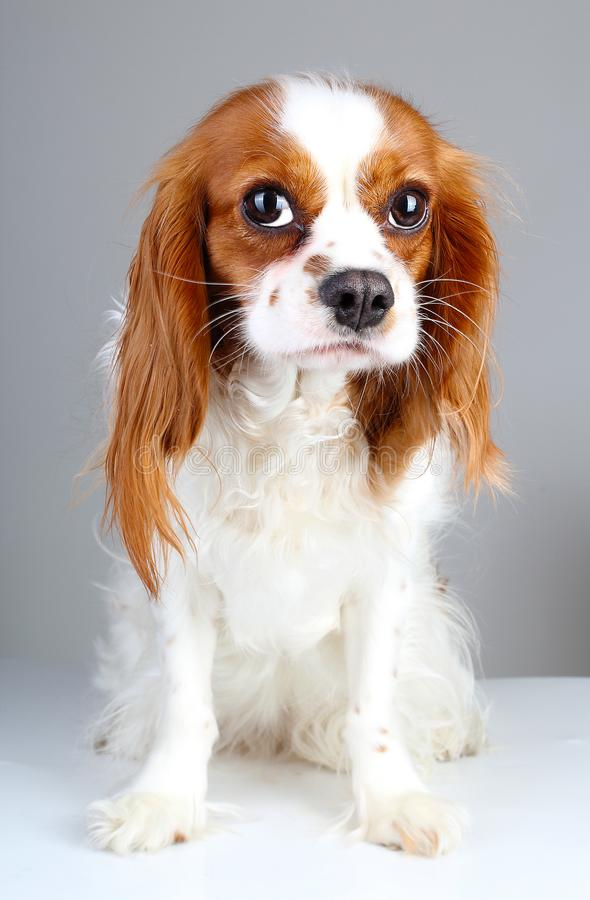 Scared dog. Cute abandoned scared guity face cavalier king charles spaniel dog pet animal photo. Scared dog puppy on stock image
