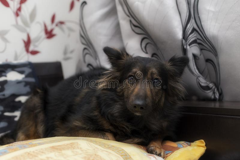Scared dog lying on the sofa royalty free stock photos