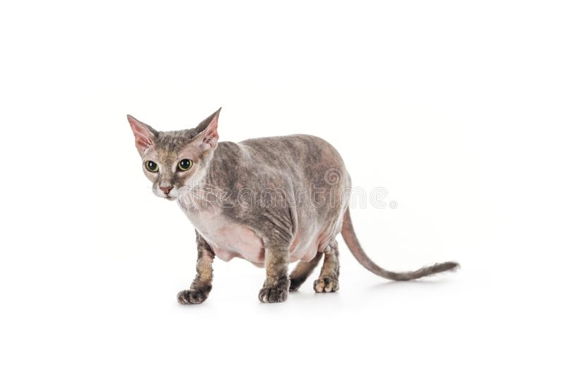 Scared domestic grey sphynx cat standing. Isolated on white stock photography