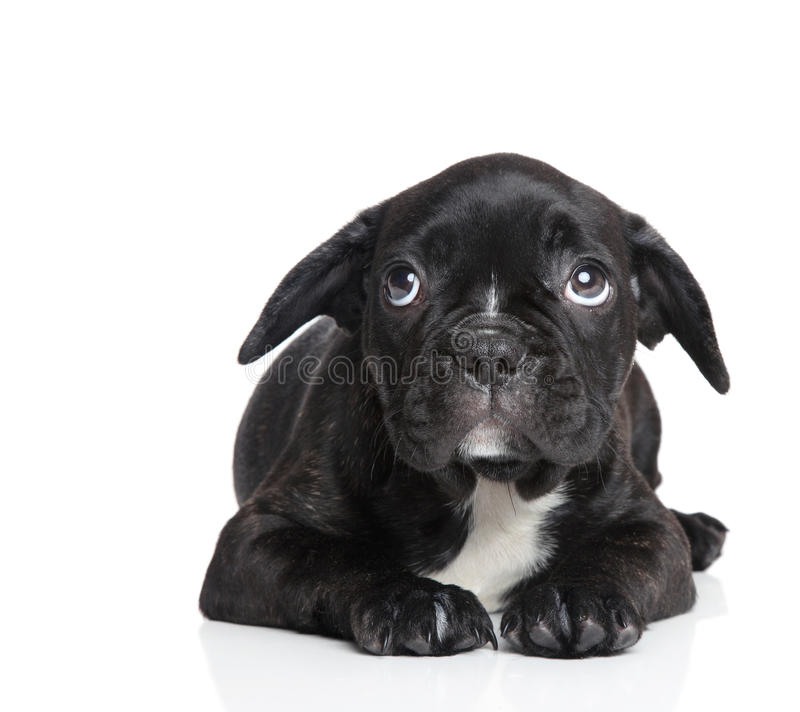 Scared French bulldog puppy. On a white background royalty free stock photos