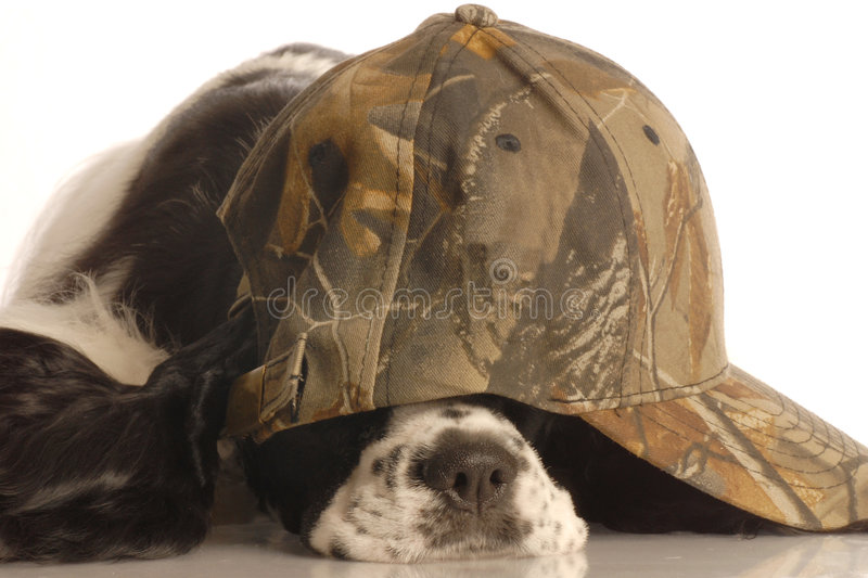 Scared hunting dog royalty free stock photo
