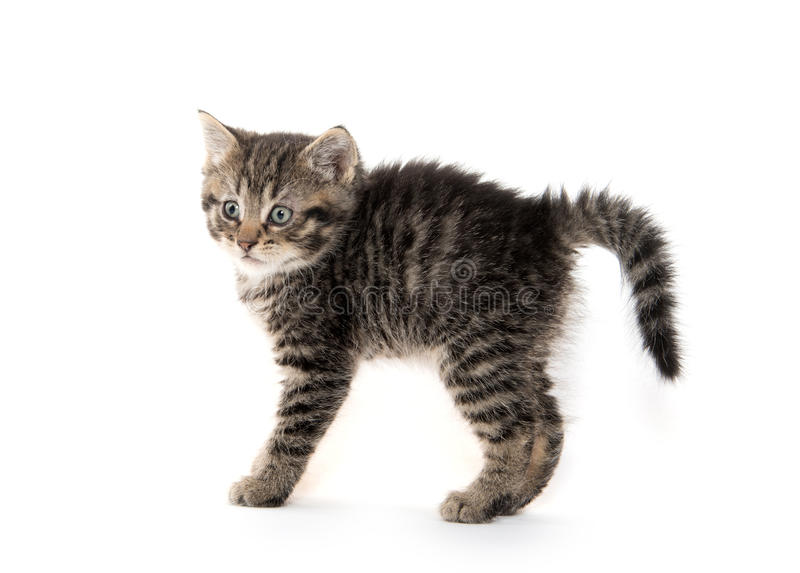 Scared kitten with arched back stock image