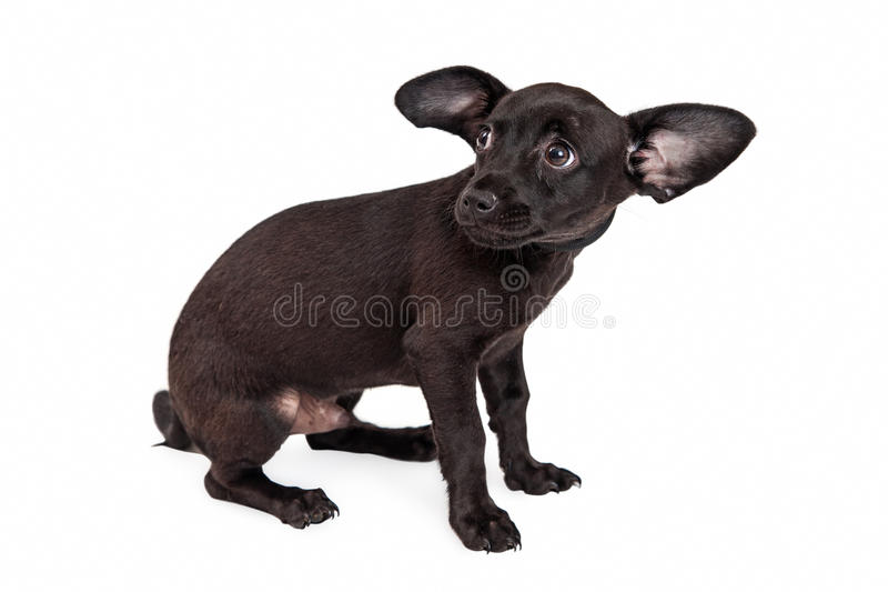 Scared Little Black Chihuahua Puppy. A shy and afraid young black color rescue dog cowering and looking back royalty free stock images
