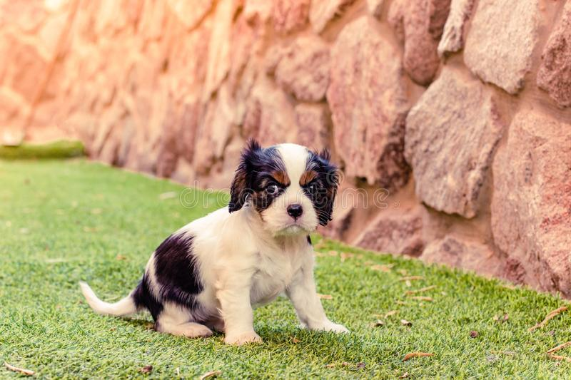 Scared little King Charles Cavalier adorable puppy on back yard outdoor space with green grass and stone wall background. Scared little King Charles Cavalier stock photography