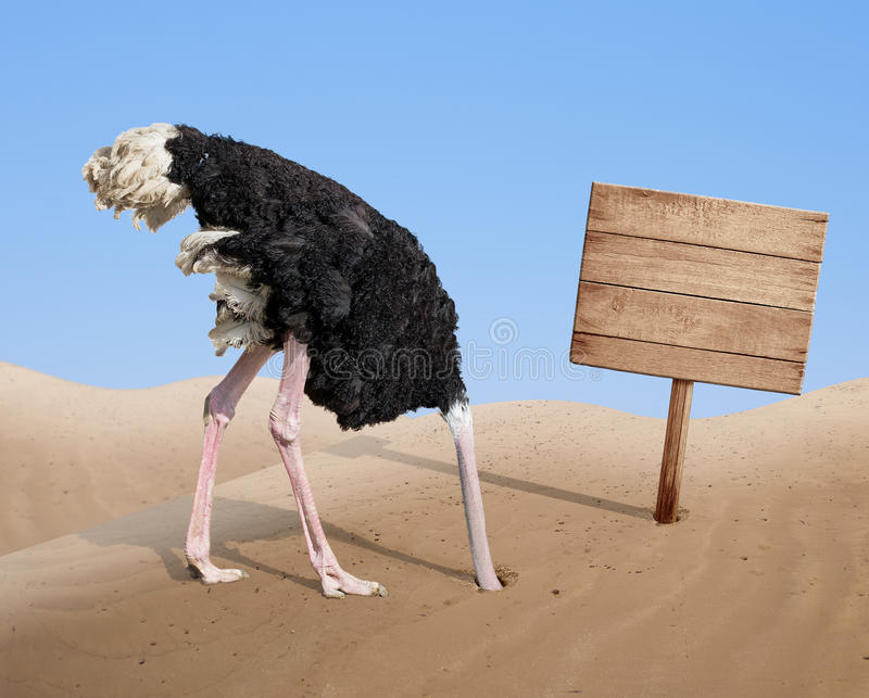 Scared ostrich burying head in sand near blank royalty free stock photo