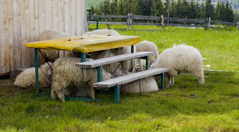 Scared Sheep. Grazing sheep attempting to hide under a small riser outdoors royalty free stock image