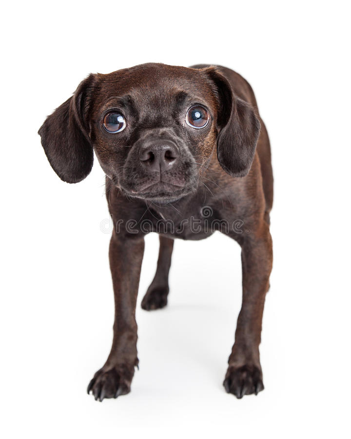 Scared Small Breed Rescue Dog. A timid and shy looking black color Beagle and Chihuahua crossbreed dog cowering and looking forward stock photography