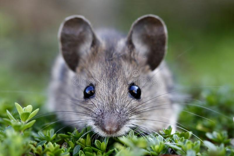 Scared house mouse royalty free stock images