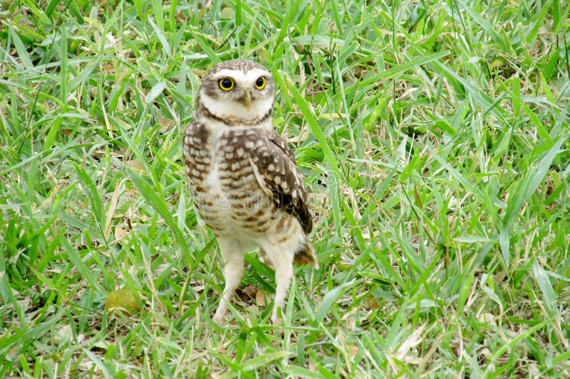 Scared yellow eyes owl on grass. Scared owl with big yellow eyes on grass in the wild stock photography