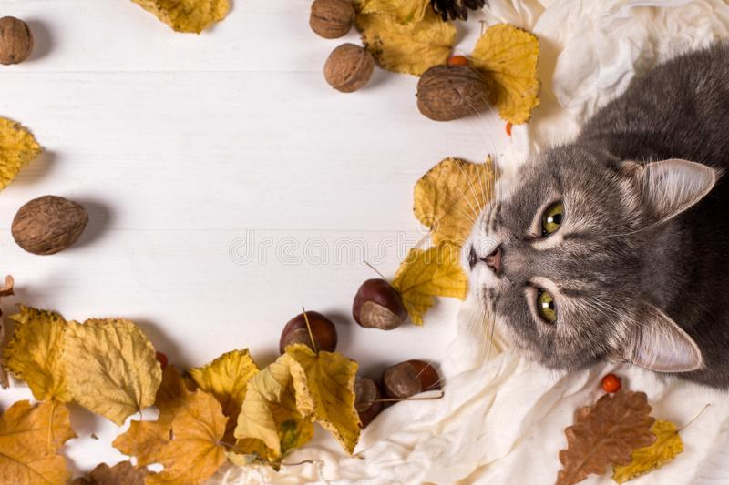Scarf, chestnuts, nuts and dry leaves and a cat on a wooden table. Autumn warming background, copy space stock photography