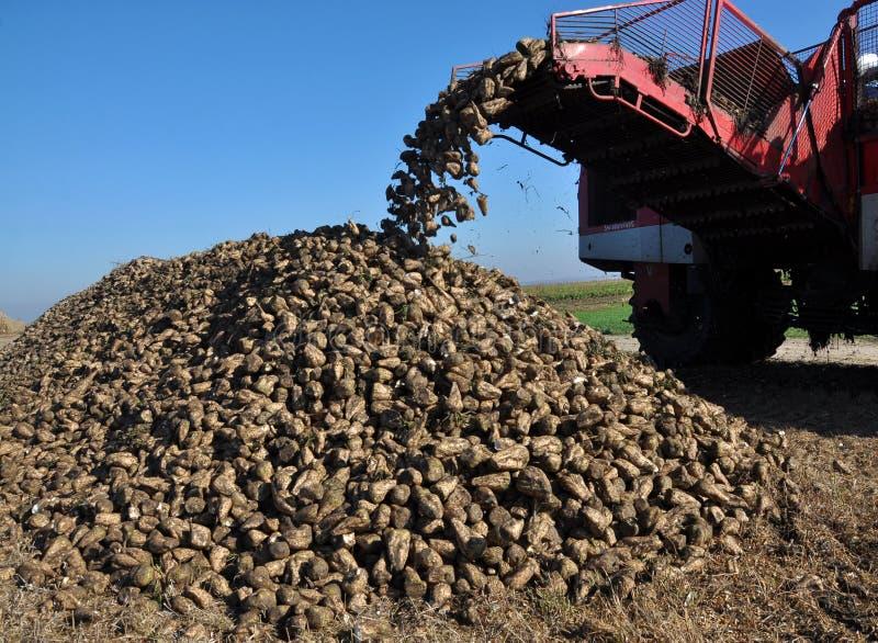 Scarico delle radici della barbabietola da zucchero dal saltatore dell'associazione fotografie stock