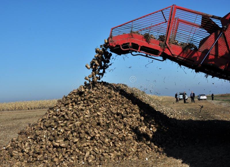 Scarico delle radici della barbabietola da zucchero dal saltatore dell'associazione immagine stock
