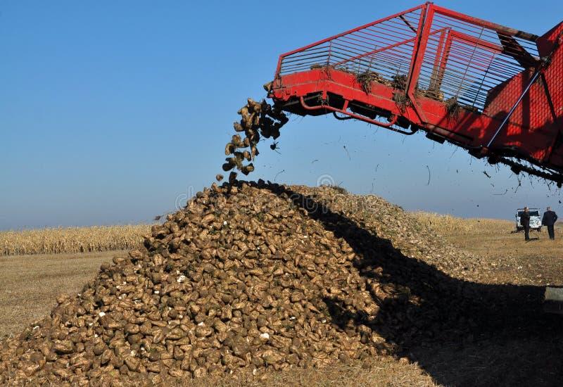 Scarico delle radici della barbabietola da zucchero dal saltatore dell'associazione immagini stock libere da diritti