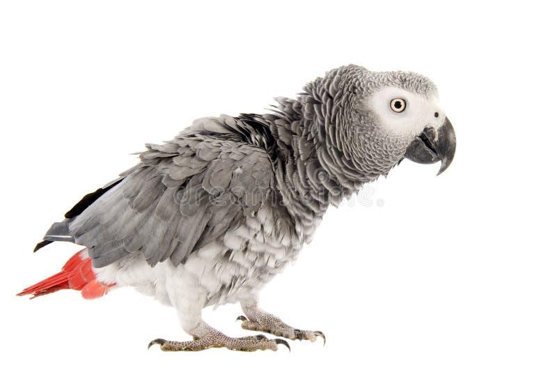 Scaring o papagaio do cinza africano imagens de stock