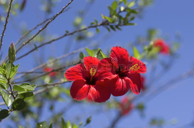 Scarlet blossoming hibiscus flowers stock image