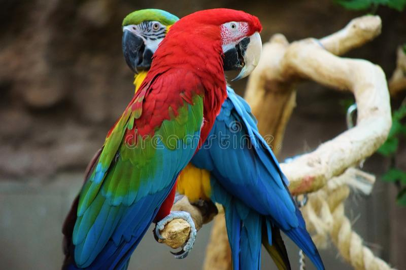 Pair of Macaws. A pair of macaws, one scarlet, the other blue and gold, sit in close proximity on a branch royalty free stock photography