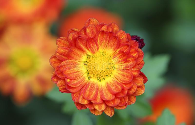 Scarlet Flower With Yellow Stamens Stock Images