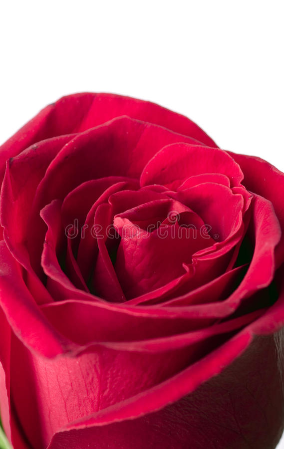 Download Scarlet flowering rose stock photo. Image of colored - 17095638