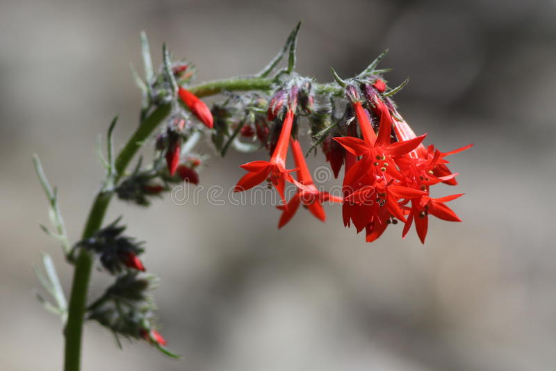Scarlet Gilia or Skyrocket (Ipomopsis aggregata). In the mountains of Eastern Washington stock images