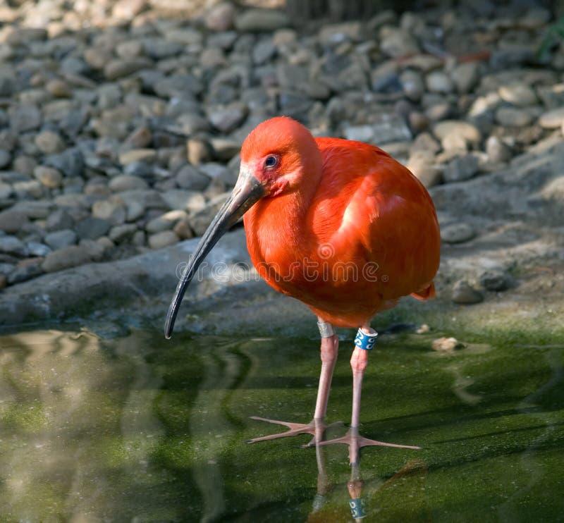 Download Scarlet ibis stock photo. Image of wildlife, nature, ibis - 20674442