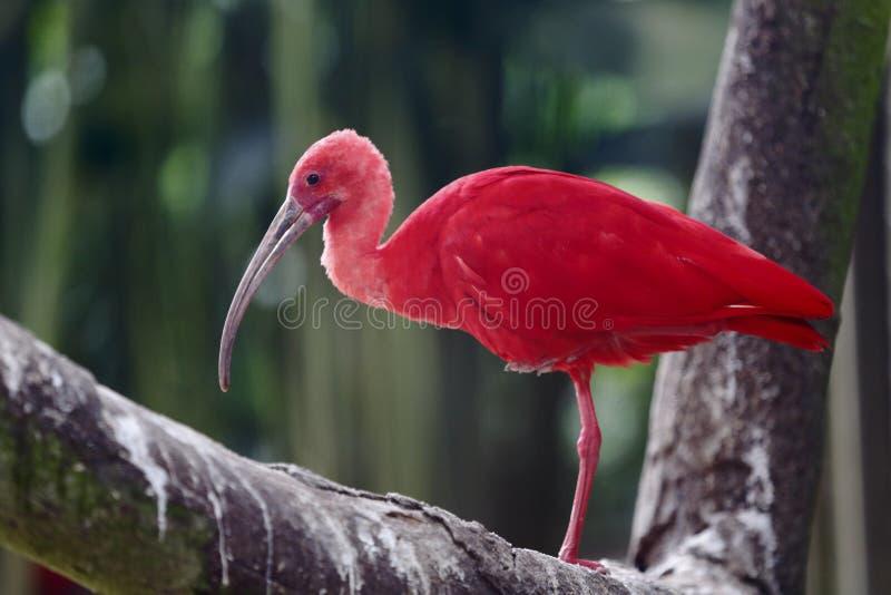 Download Scarlet Ibis Royalty Free Stock Photo - Image: 28506605