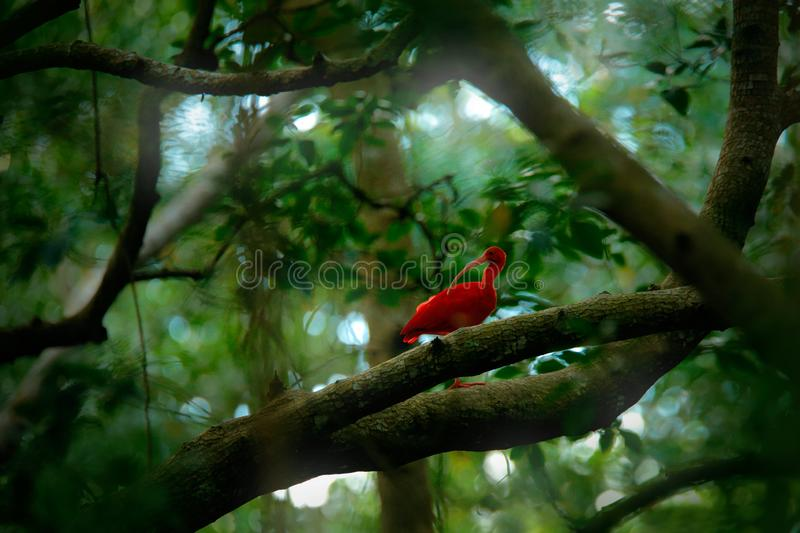 Scarlet Ibis, Eudocimus ruber, exotic bird in the nature forest habitat. Red bird sitting on the tree branch, beautiful evening su royalty free stock photos