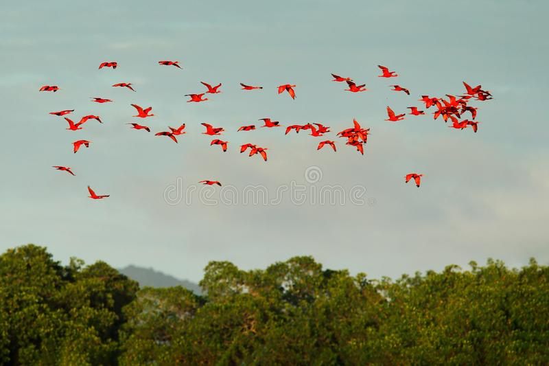 Scarlet Ibis, Eudocimus ruber, exotic red bird, nature habitat, bird colony flying above forest, Caroni Swamp, Trinidad and Tobago royalty free stock image