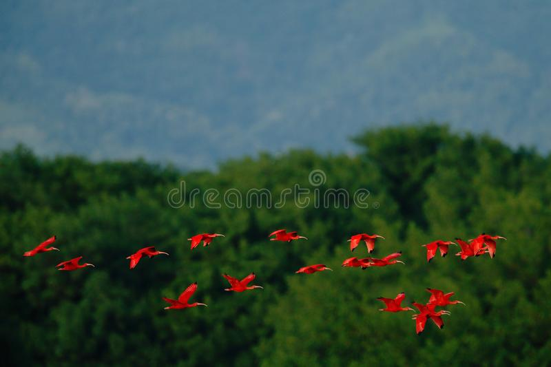 Scarlet Ibis, Eudocimus ruber, exotic red bird, nature habitat, bird colony flying above the tree forerst, Caroni Swamp, Trinidad stock image