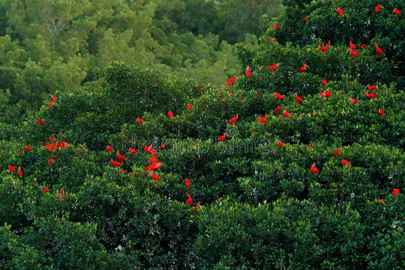 Scarlet Ibis, Eudocimus ruber, exotic red bird, nature habitat, bird colony sitting on the tree, Caroni Swamp, Trinidad and Tobago stock images