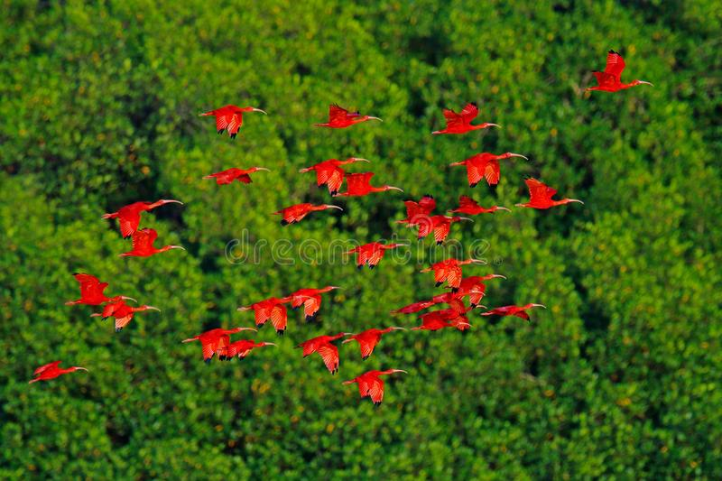 Scarlet Ibis, Eudocimus ruber, exotic red bird, nature habitat, bird colony sitting on the tree, Caroni Swamp, Trinidad and Tobago royalty free stock photo