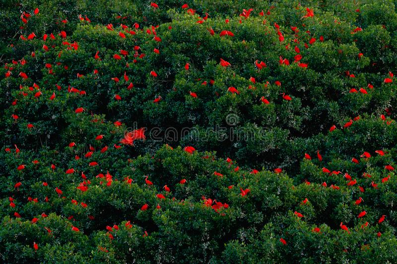 Scarlet Ibis, Eudocimus ruber, exotic red bird, nature habitat, bird colony sitting on the tree, Caroni Swamp, Trinidad and Tobago royalty free stock image